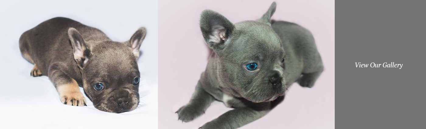 View our gallery of French and British Bulldogs