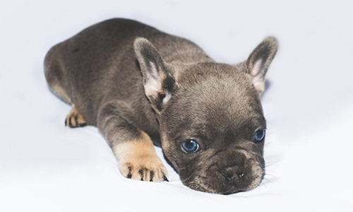 French and British Bulldog Puppies For Sale In Kent